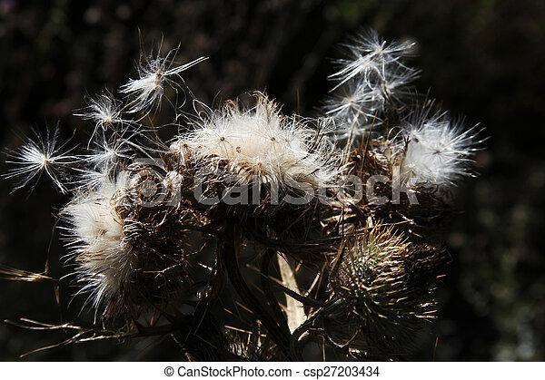 Dandelion - csp27203434