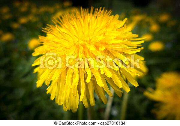 Dandelion - csp27318134