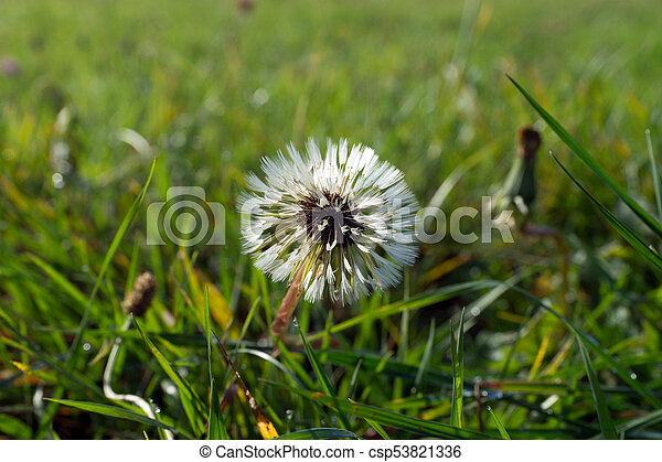 Dandelion - csp53821336