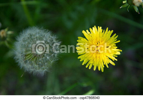 dandelion s blow ball and flower