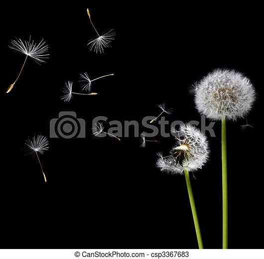 dandelions in the wind - csp3367683
