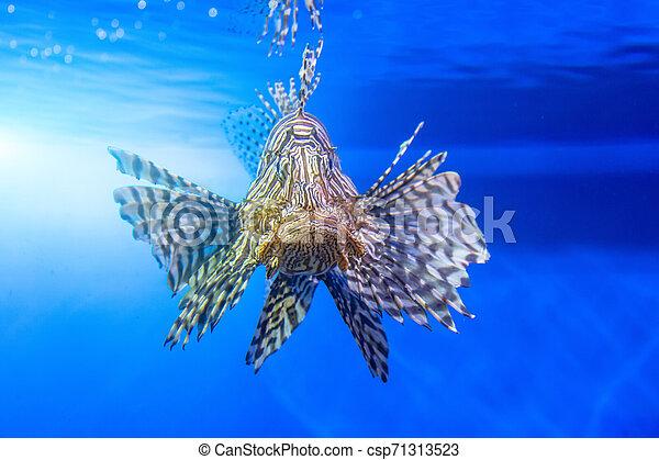 Dangerous Lionfish zebra fish in sea water. - csp71313523