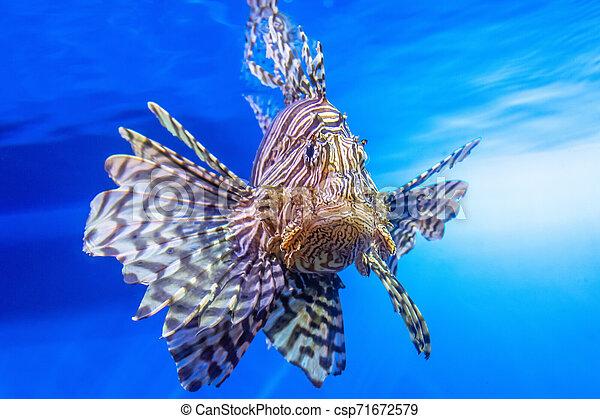 Dangerous Lionfish zebra fish in the mediterranean sea water. - csp71672579