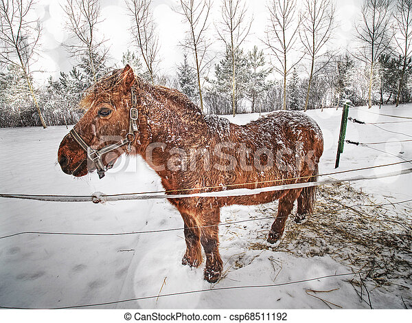 Dark brown horse on snowy pasture. Horse looks into camera - csp68511192