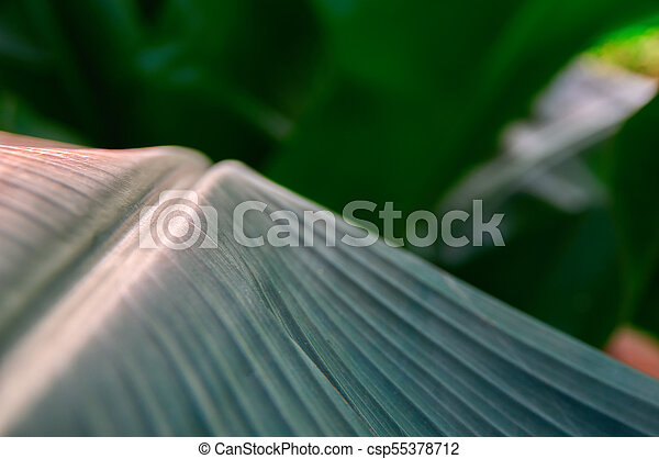 Dark green leaves palm. Vegetative background with selective focus. For cover, advertising and decoration. - csp55378712