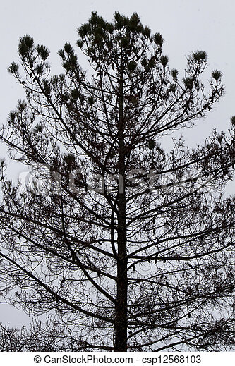 dark silhouette of a pine tree - csp12568103