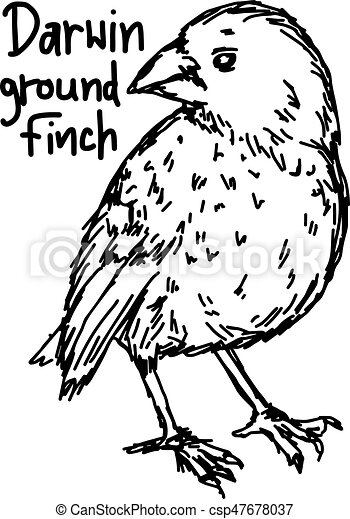 darwin ground finch - vector illustration sketch hand drawn with black lines, isolated on white background - csp47678037