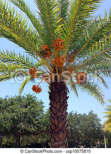 A Date Palm Tree Ready To Drop Ripe Dates