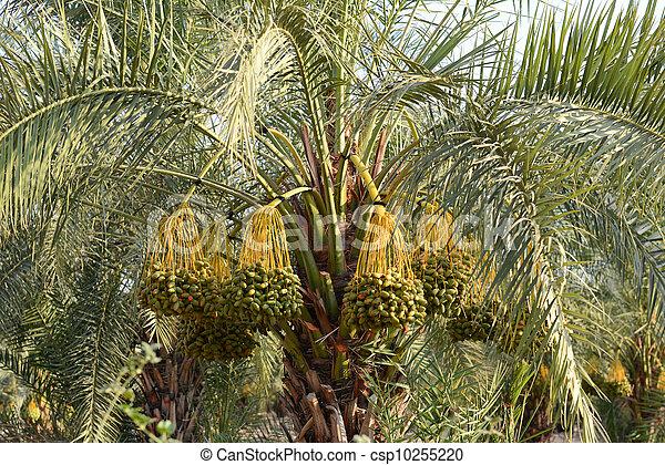 Dates on a palm tree - csp10255220