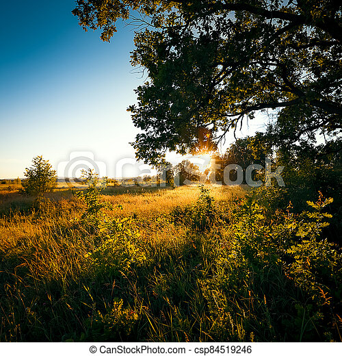 Dawn, the first rays of the sun break through the branches of a large oak tree growing in a field with various grasses. - csp84519246