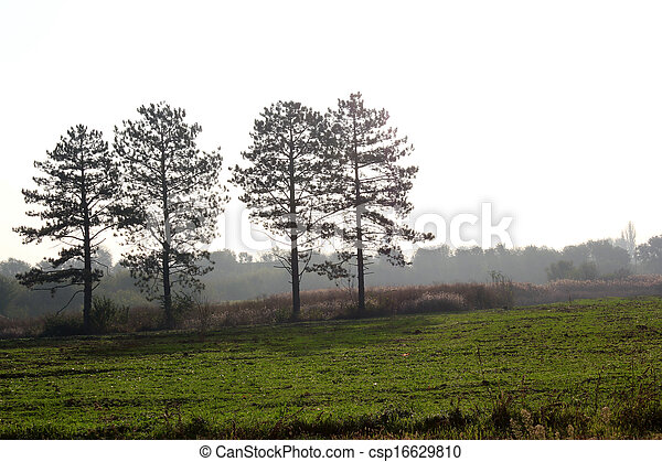 dawn with four pine tree silhouette - csp16629810