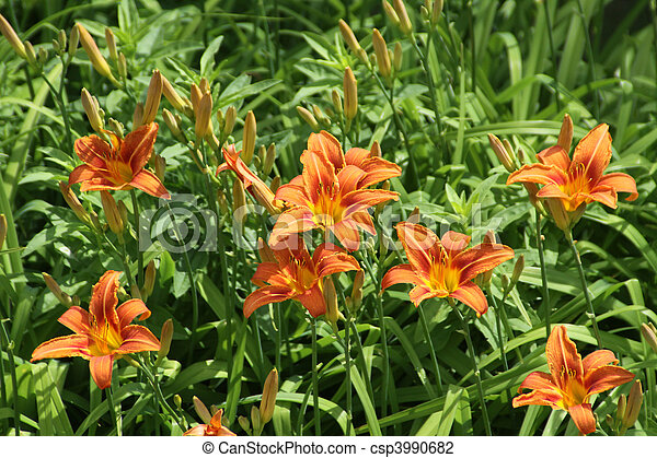 day lily orange bright orange day lilies daylily is the. Black Bedroom Furniture Sets. Home Design Ideas