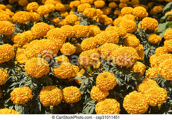 day of the dead flower bright yellow the stem of marigolds can