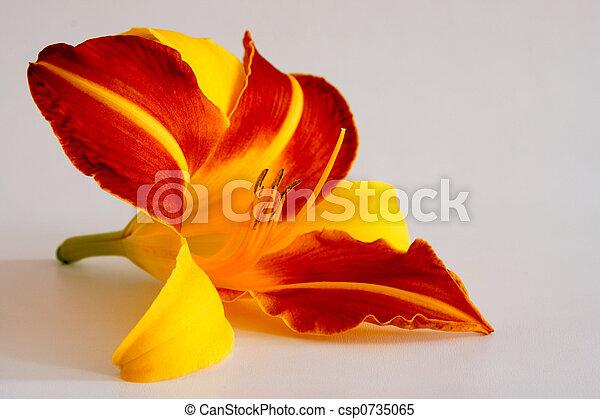 daylily, (hemerocallis) - csp0735065