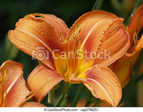daylily - csp0786251