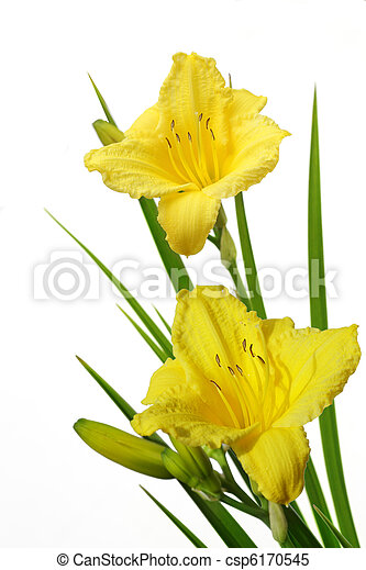 daylily, jaune - csp6170545
