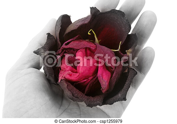 dead rose - csp1255979