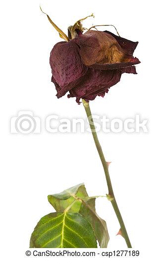 dead rose - csp1277189