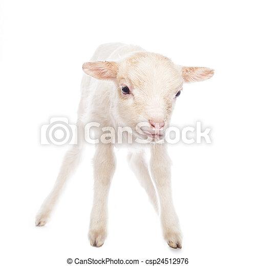 debout, agneau - csp24512976