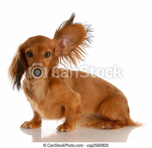 debout, chevelure, haut, long, une, miniature, écoute, oreille, teckel - csp2560820