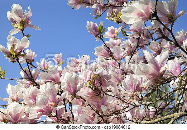 Deciduous Magnolia Tree Flowers Deciduous Magnolia Tree With Saucer