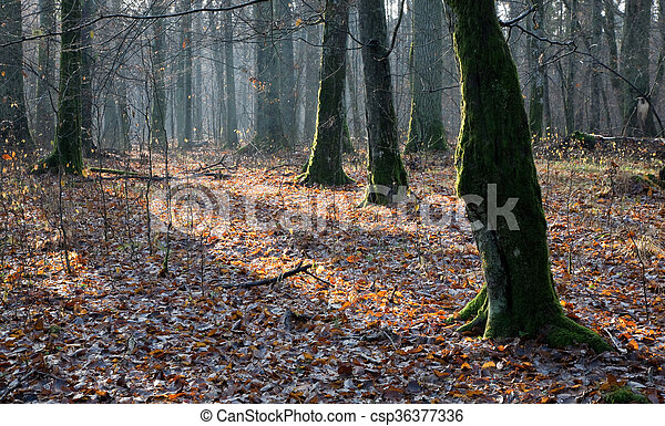 Deciduous stand of Bialowieza Forest in autumn - csp36377336