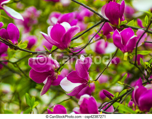 Decoration Of Few Magnolia Flowers Pink Magnolia Flower Isolated On