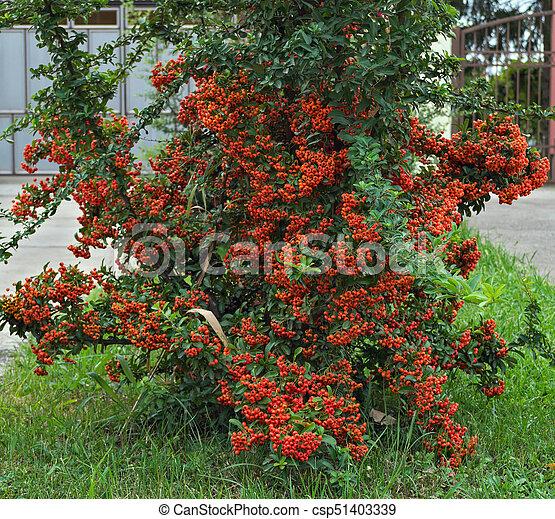 Decorative Bush Full With Orange Berries