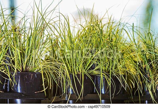 Decorative Garden Grasses - csp49710509