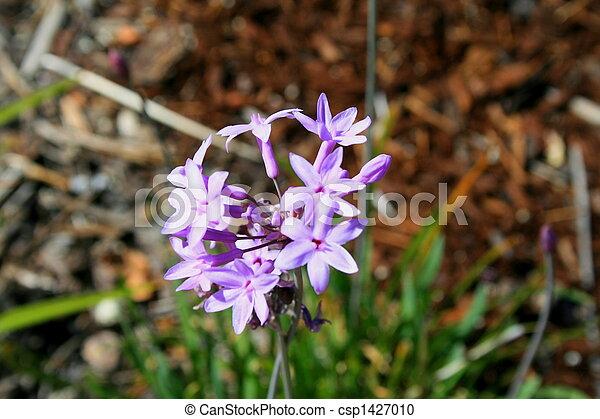 Decorative Garlic Flower - csp1427010