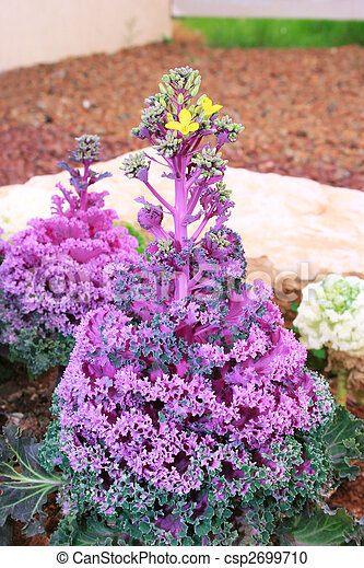 Decorative Ornamental Cabbage Flower Vertical Picture