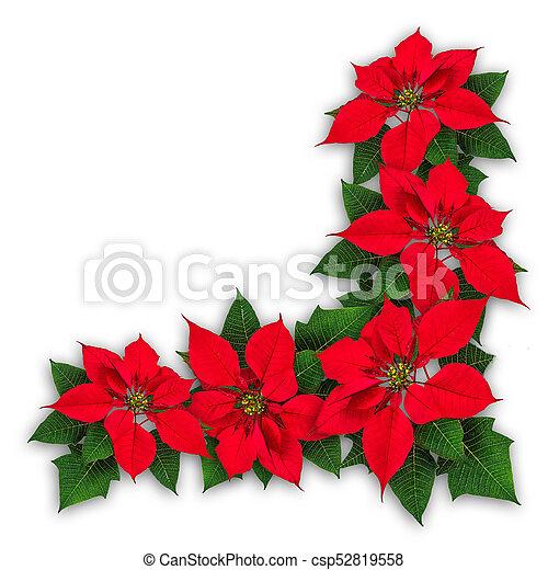 Decorazione Fiori Natale Stella Di Natale Fiore Decorazione Ornamento Stella Di Natale Pulcherrima Natale Rosso Canstock