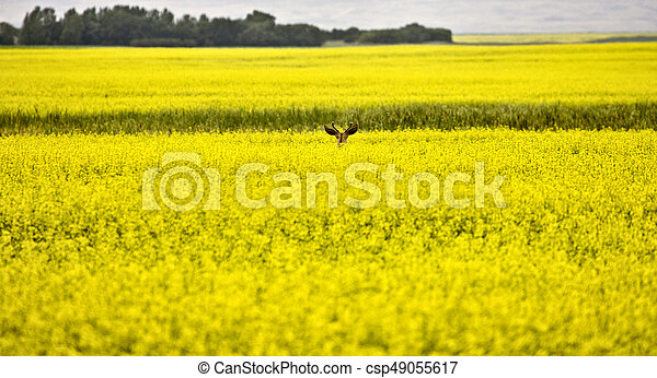 Deer in Canola Field - csp49055617