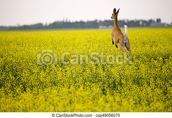 Deer in Canola Field - csp49056070