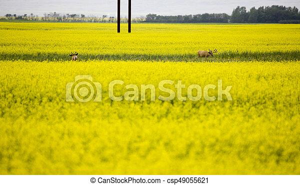 Deer in Canola Field - csp49055621