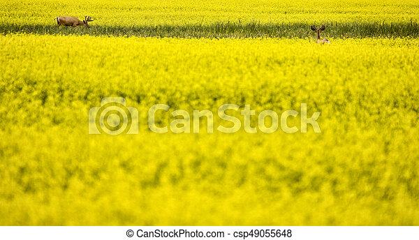 Deer in Canola Field - csp49055648