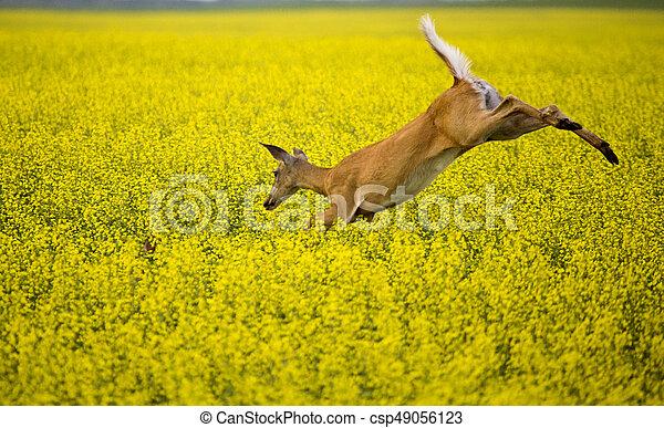 Deer in Canola Field - csp49056123