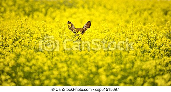 Deer in Canola Field - csp51515697