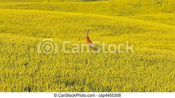 Deer running in canola mustard field - csp4455308