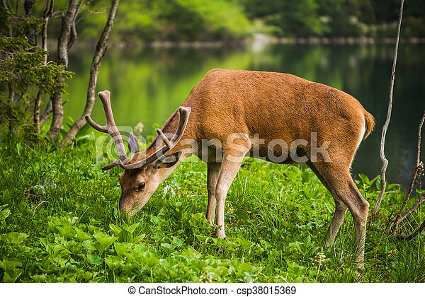 Deer stag at the lake in mountains - csp38015369