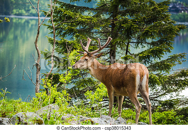 Deer stag at the lake in mountains - csp38015343