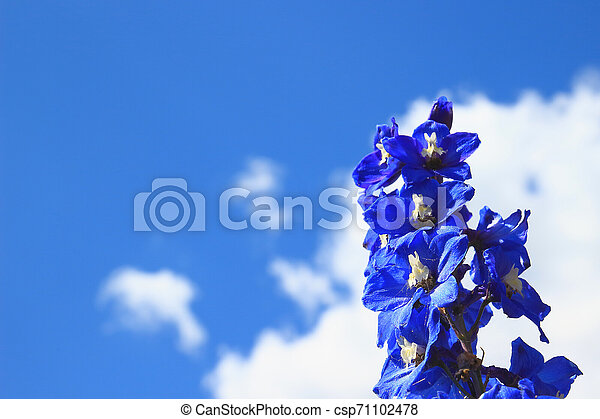 Delphinium isolated on a blue sky background - csp71102478