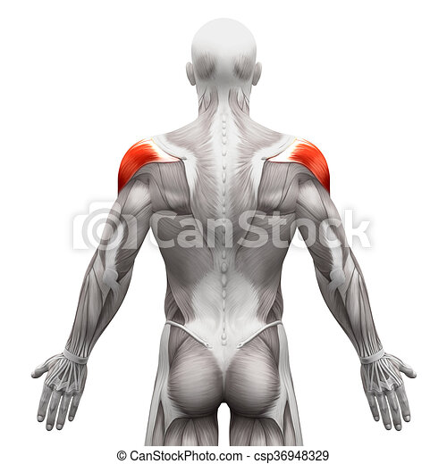 Deltoid Muscle Anatomy Muscles Isolated On White 3d Illustration