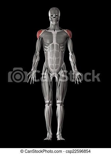 Koerperbau, -, muskel, deltoid, menschliche .