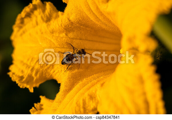 den, dýně, květ, květ, jasný, včela, zbabělý, léto, -, opylit - csp84347841