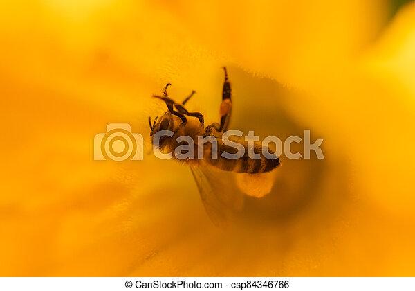 den, dýně, květ, květ, jasný, včela, zbabělý, léto, -, opylit - csp84346766