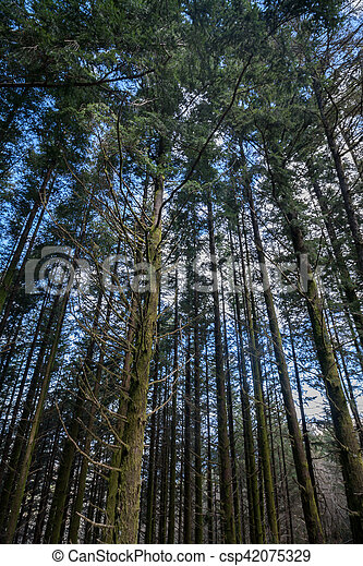 Dense pine tree woods - csp42075329