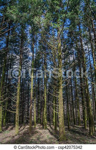 Dense pine tree woods - csp42075342