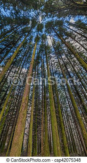 Dense pine tree woods - csp42075348