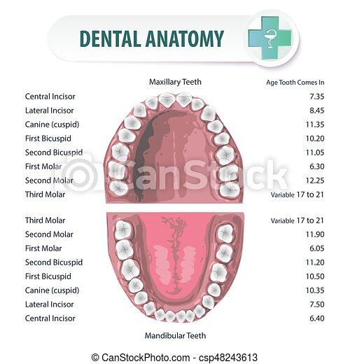 Dental Anatomy 2 Anatomical Stomatologic Atlas Of Oral Cavity